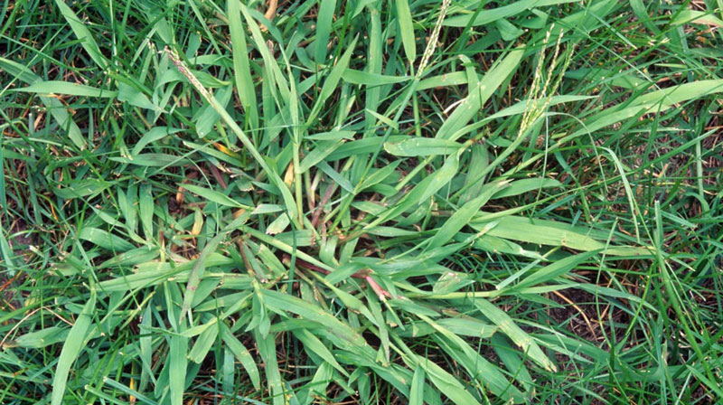 How To Control Crabgrass
